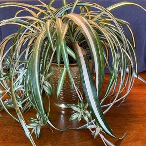 Faux Spiderplant in gold flower pot